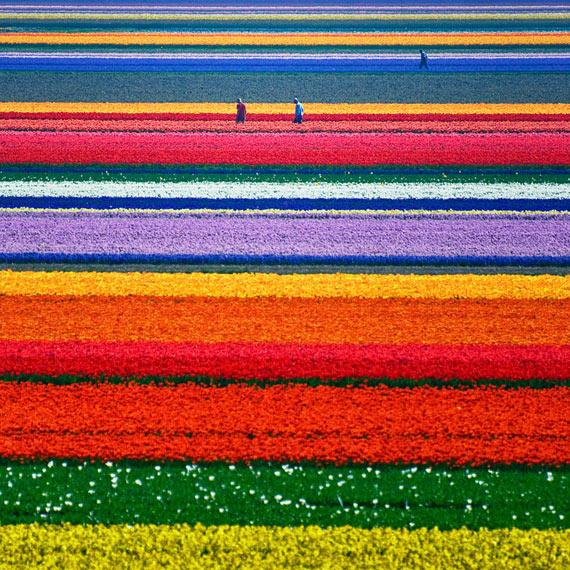 tulipes pays bas